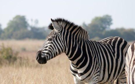 kombinační hlavolam Zebra vodu nepije